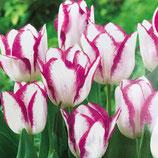 二色咲きチューリップ アフェアー