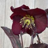ヘレボレス 氷の薔薇 メルロー