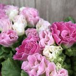 バラ咲きプラチナジュリアン ウィンターイルミネーション