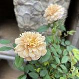 四季咲きミニバラ モカ