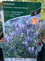 Eisenhut - Aconitum x cammarum