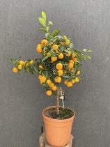 Duftorange - Citrus calamondin