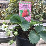 immertragende Erdbeere