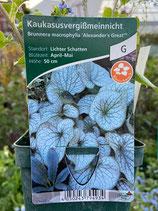 Kaukasusvergissmeinnicht - Brunneria macrophylla
