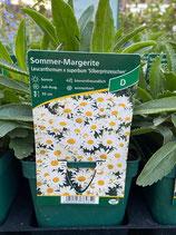 Sommer Margerite - Leucanthemum