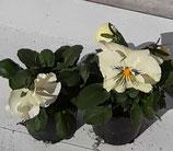 Veilchen Grosse Blüte