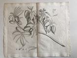 Van Reede (1636-1691). Manglar (1685)