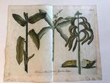 J. W. Weinmann (1683-1741). Banana (1737).
