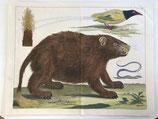 Albertus Seba (1665-1736). Tab. 52. Thesauri vol. 1. (1794)