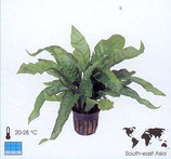 "Microsorum pteropus ""Latifolia"""
