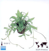 Echinodorus magdalensis