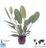 Echinodorus rubra (osiris)