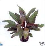 """Echinodorus """"Rubin"""""""