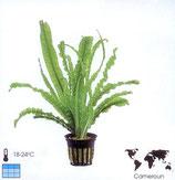 Crinum aquatica