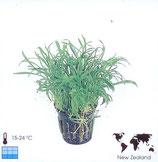 """Lilaeopsis """"Novea-Zealandiae"""""""