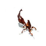 Geigenkopfmantis - Phyllocrania paradoxa