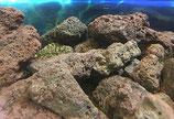 """""""Lebende Steine"""" für Süsswasser-Aquarien, grösser als 6 cm, pro kg"""
