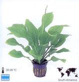 Echinodorus parviflorus
