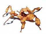 australische Gespensterschrecke - Extatosoma tiaratum