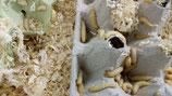 Bienenmaden, Wachsmottenlarven