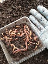 Große 50-100 g Dendrobenas im Groß Behälter
