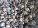 lot de 100 Bulbes de Crocus Sativus bio