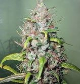 Sweet Skunk Sweet Seeds