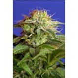 SWEET SEEDS FAST VERSION - GREEN POISON F1