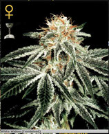 GREEN HOUSE SEEDS - WHITE WIDOW