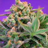 SWEET SEEDS FAST VERSION - SWEET CHEESE F1