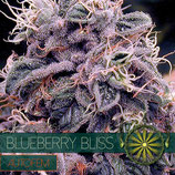 BLUEBERRY BLISS - VISION SEEDS