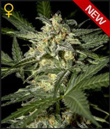 GREEN HOUSE SEEDS - WHITE WIDOW AUTO