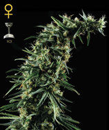 GREEN HOUSE SEEDS - HAWAIIAN SNOW