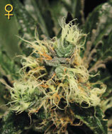 GREEN HOUSE SEEDS - PURE KUSH