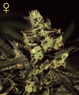 GREEN HOUSE SEEDS - EXODUS CHEESE