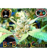 BIG BUDDHA SEEDS Auto - BIG BUDDHA CHEESE AUTO