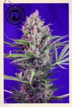 SWEET SEEDS FAST VERSION - CREAM MANDARINE F1