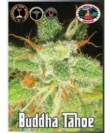 BIG BUDDHA SEEDS - BUDDHA TAHOE