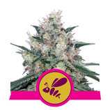 ROYAL QUEEN SEEDS - HONEY CREAM FAST