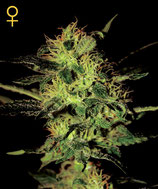 GREEN HOUSE SEEDS -SUPER CRITICAL