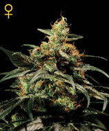 GREEN HOUSE SEEDS - KING KUSH
