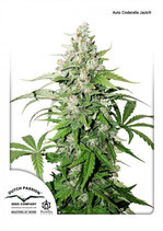 DUTCH PASSION Auto - Auto CInderella Jack