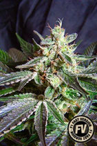 SWEET SEEDS FAST VERSION - BLACK JACK F1