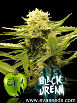 EVA SEEDS - BLACK DREAM