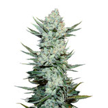 FASTBUDS SEEDS - TANGIE MATIC
