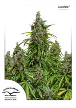 DUTCH PASSION Auto - Auto Mazar