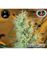 BIG BUDDHA SEEDS - SILVER CHEESE