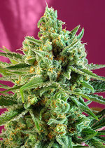 SWEET  SEEDS - SWEET AFGHANI DELICIOUS  CBD