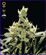 GREEN HOUSE SEEDS -SUPER LEMON HAZE