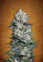 FASTBUDS SEEDS - MEXICAN AIRLINES